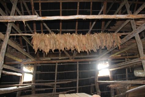 cuban tobacco farm